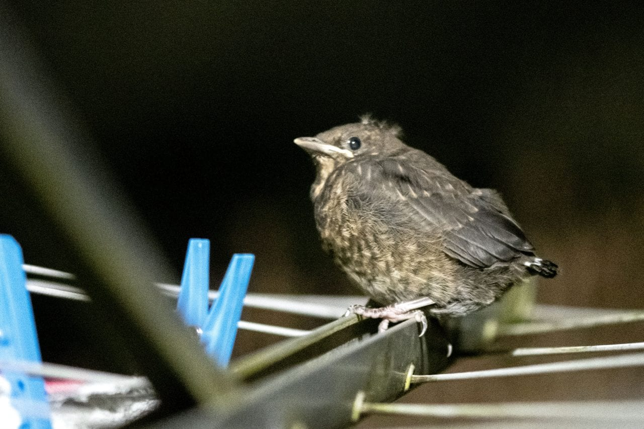 7 DSC_6688 Fledgling robin on washing line EC