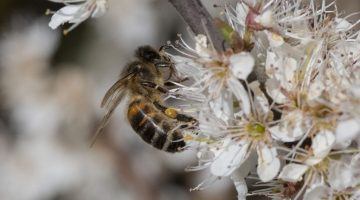 8 DSC_5243 Honey bee on blackthn EC
