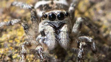 8 DSC_5654 Zebra spider eyes ECCCCC -----