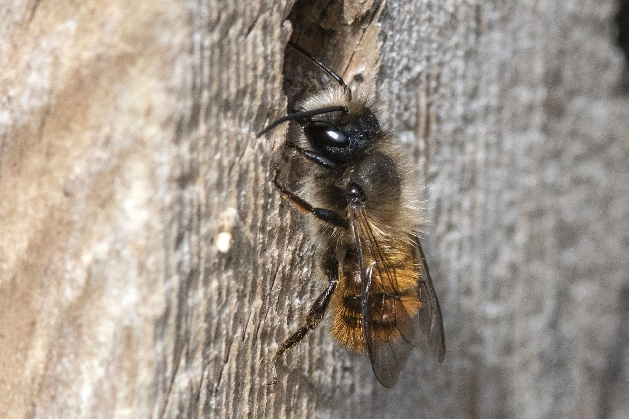 9 DSC_5703 Red mason bee at drilled hole EC --