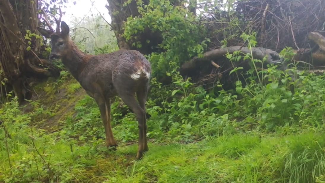 1 04040011 Roe buck top path above lwr sett Crop C