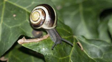 3 DSC_0244 Whie lipped snail EC