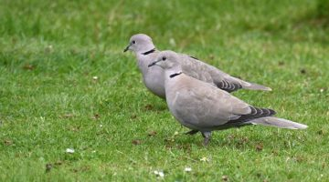 6 DSC_9126 Collared doves EC