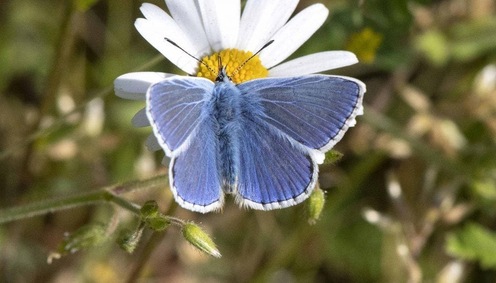 6. DSC_1516 Common blue wings open EC Reduced --