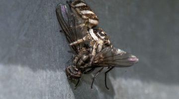 8 DSC_9525 Zebra spider and prey EC