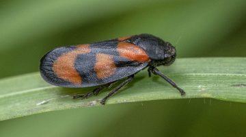 9 DSC_9247 Red and black froghopper Cercopis vulnerata EC