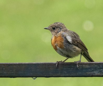 4 DSC_5231 Baby robin on bench EC ---