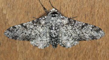 4 DSC_6200 Peppered moth ECC - Reduced