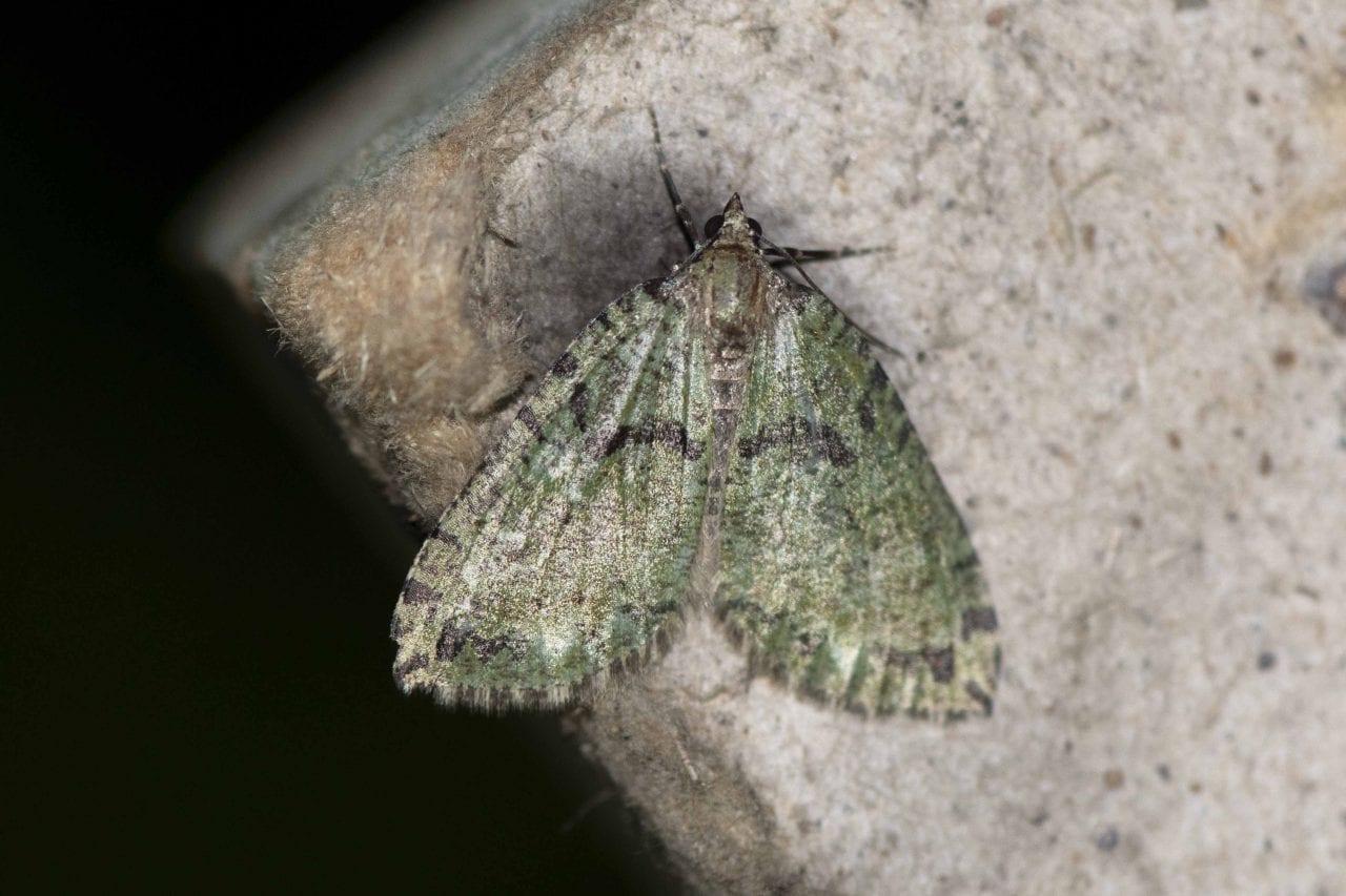 5 DSC_6224 July Highflier (Hydriomena furcata) EC