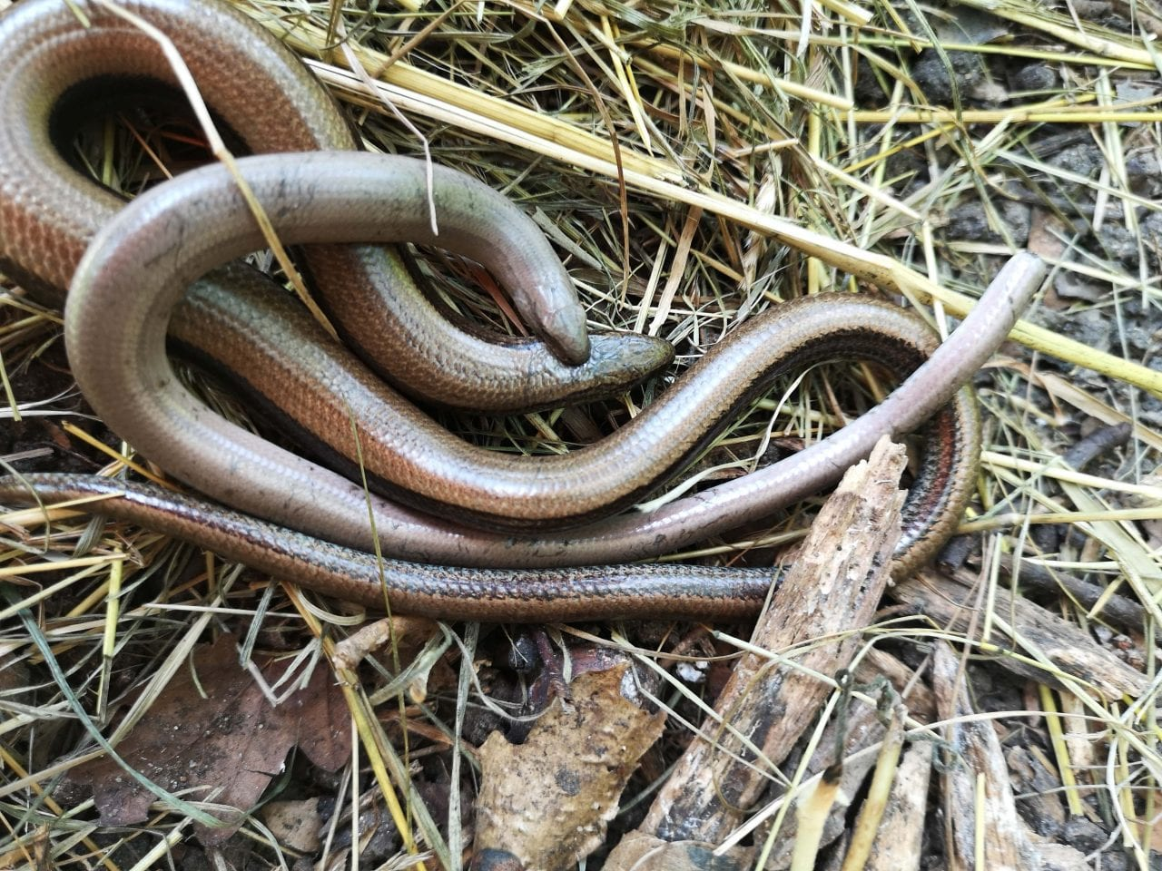 7 IMG_20210623_150436 Amorus slow-worms EC -- Reduced