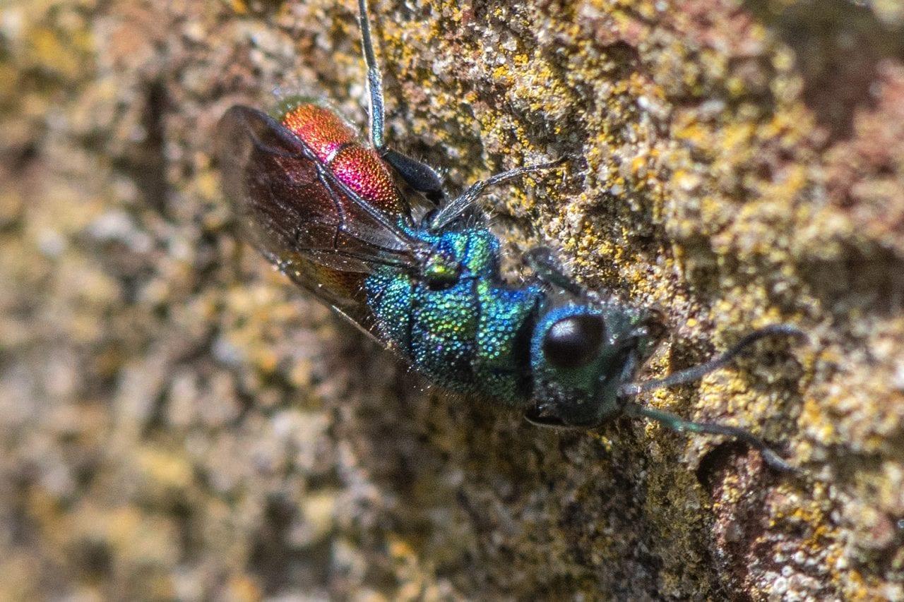 9 DSC_4140 Ruby-tailed wasp ECC --