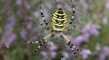 2 DSC_9369 Wsp spider EC -- Reduced