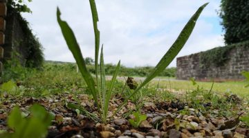4 IMG_20210808_133724 Ribwort or Lanceolate plantain Reduced