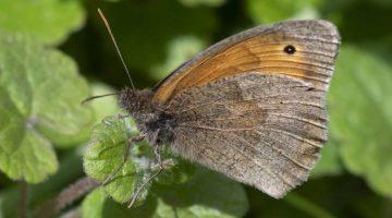 5 DSC_6474 Meadow brown ECC Reduced
