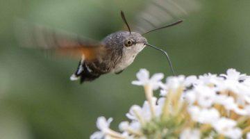 5 DSC_9557 Hummingbirdhwkmoth feeds EC ----- Reduced