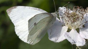 9 DSC_7373 Large white on bramble flower ECC --