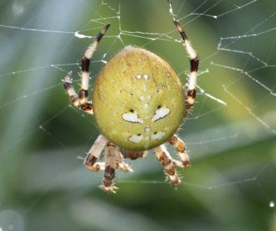 1 DSC_1508 Araneus quadratus 4-spots EC