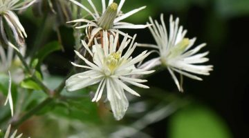 2. DSC_0540 Clematis flower EC Reduced
