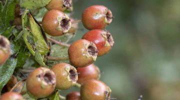 8. DSC_0641 Hawthorn berries EC Reduced