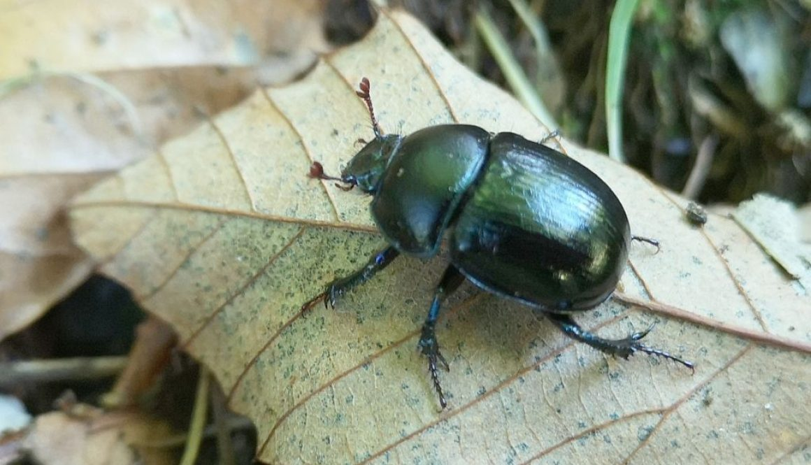 6 IMG_20211006_134144 Dor beetle EC